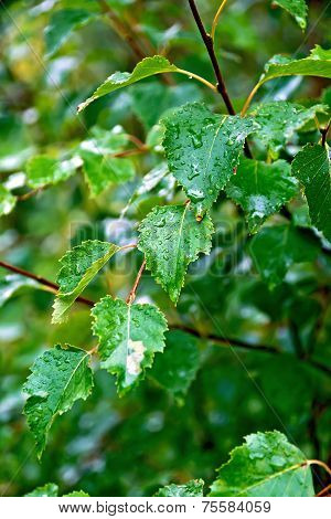Birch green leaves on background foliage