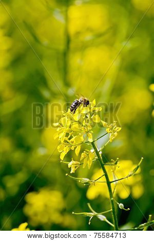 Colza flower with bee