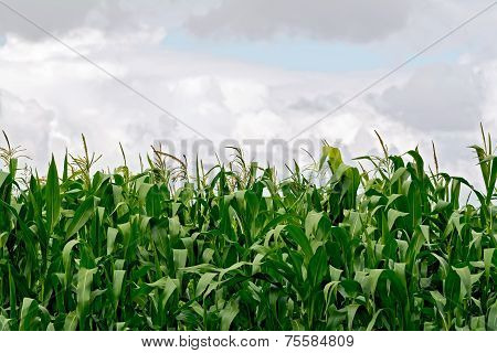 Corn in field on sky background