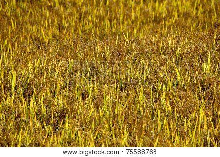 Punakha Rice Fields