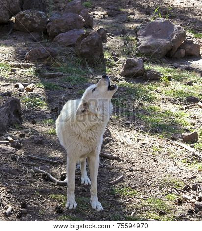 An Arctic Wolf Howling In The Forest