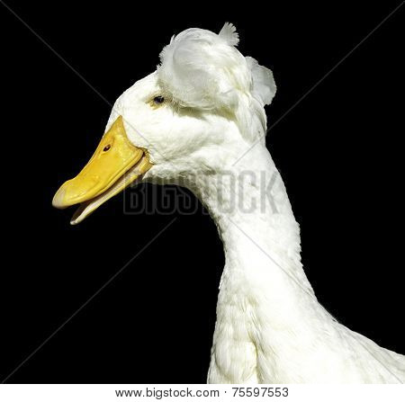 Duck isolated on black background