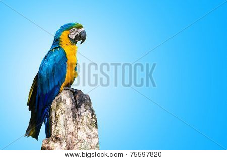 Blue and Yellow Macaw on blue background