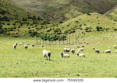 Green meadows with sheep grazing in a beautiful area of Queenstown, New Zealand