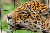 stock photo of ocelot  - closeup portrait of beautiful jaguar outdoors park zoo behind cage - JPG