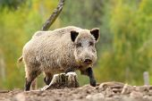 foto of wild hog  - big wild boar over green out of focus forest  - JPG