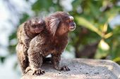 image of marmosets  - The common marmoset  - JPG