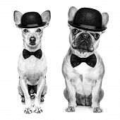 foto of bowler  - comedian classic couple of dogs wearing a bowler hat and black tie isolated on white background - JPG