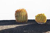 image of mother law  - Cactuses in Lanzarote island Spain Echinocactus grusonii  - JPG