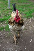 picture of fighting-rooster  - aggressive and angry cock configured on a person that sees a - JPG