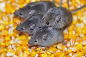picture of field mouse  - Four field mice eating corn grain on the farm.