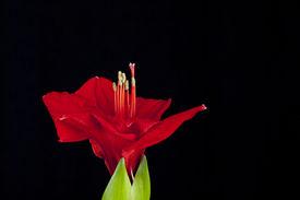 stock photo of belladonna  - Red amaryllis flower on black background - JPG