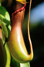 stock photo of nepenthes-mirabilis  - nepenthes villosa  - JPG