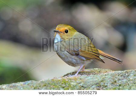 Rufous-browed Flycatcher Bird