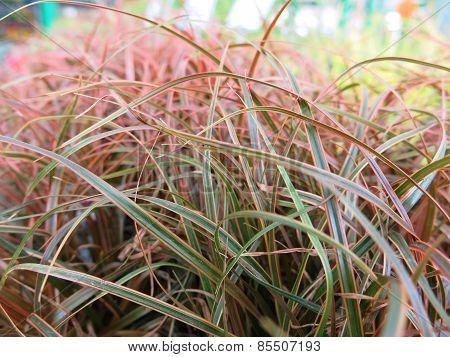 Blades of ornamental grass