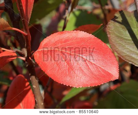 Autumn Colors. Red Leaf Of Chokeberry
