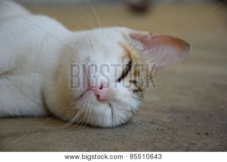 White cat sleeping tiredly