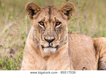 Scary Eyes Lion Lioness