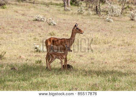 antelope and her cub on a background of grass