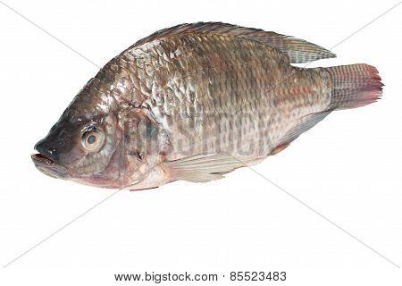 fresh tilapia fishesv