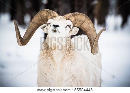 Bighorn Sheep In Winter