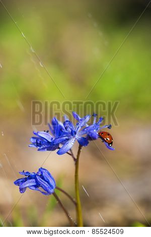 Single Ladybug On Violet Bellflowers In Spring During Rain