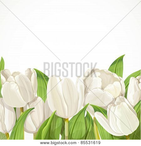 White Tulips On White Background