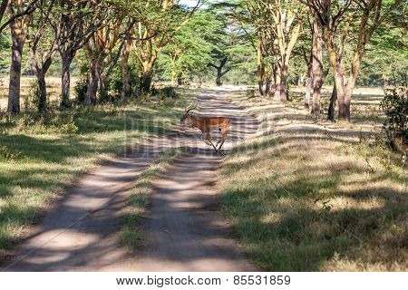 antelope on a background of road
