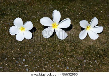 Three White Frangipani Flowers On The Grunge Stone Texture Background