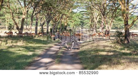 antelopes and zebras on a background of road