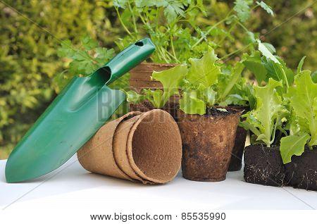 Seedling Lettuce