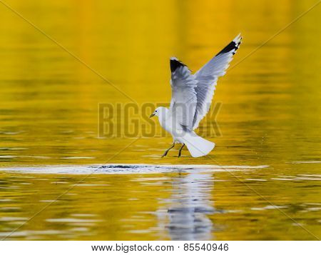 Herring gull bird almost catching fish