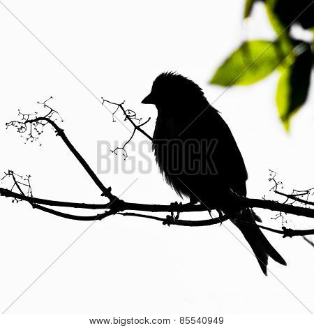 Black Linnet bird on branch