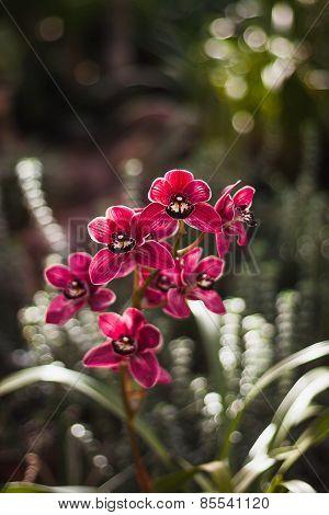 Cymbidium, or boat orchid