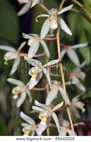 Loose Coelogyne Orchid