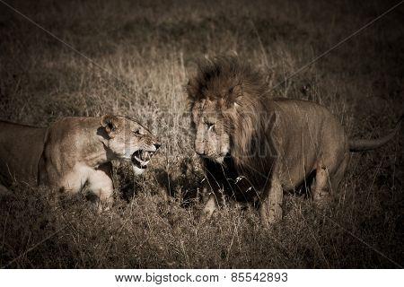 lion couple in the masai mara reverse in kenya africa