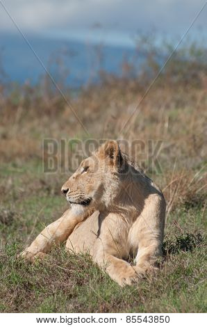 Lioness Lying And Watching