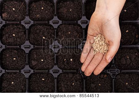 Hand spreading seeds into germination tray - spring sowing, closeup