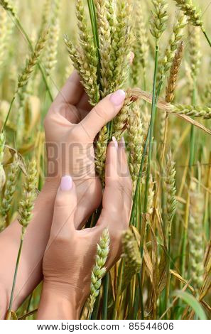 Female hands with wheat ears on field