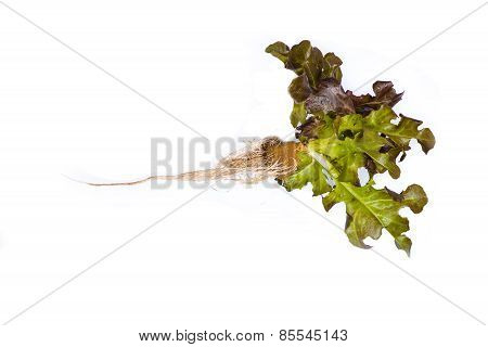 Red Oak Leaf Lettuce With Root On A White Background
