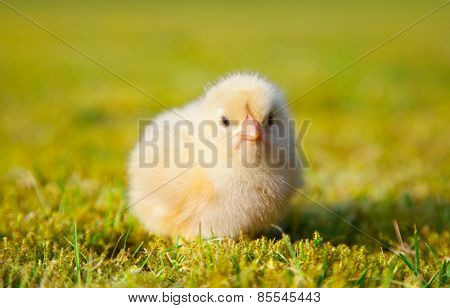 Cute little chick on green meadow
