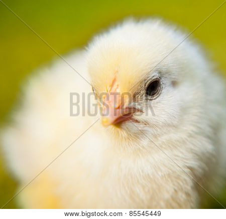 Portrait of a cute little chick