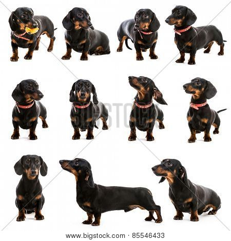 photo collage dachshund on a white background
