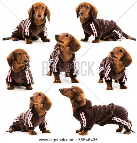 photo collage dachshund in a sports suit on a white background