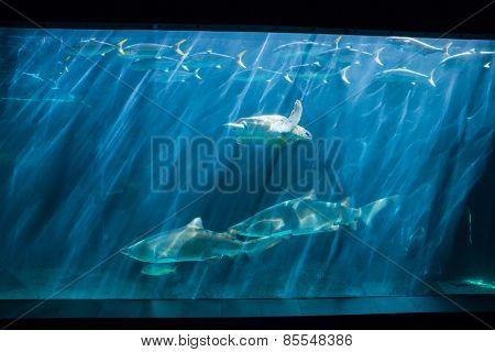 Turtle swimming in fish tank at the aquarium