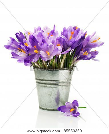Crocuses In A Bucket
