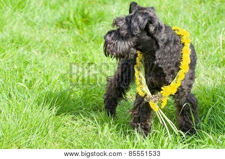 Decorated Black Miniature Schnauzer Dog