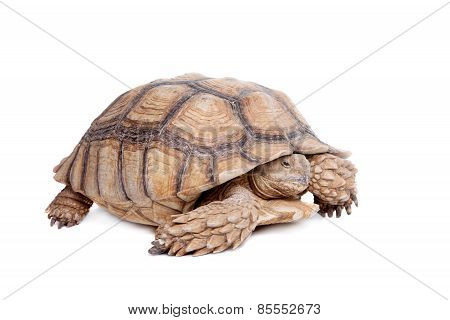 African Spurred Tortoise on white