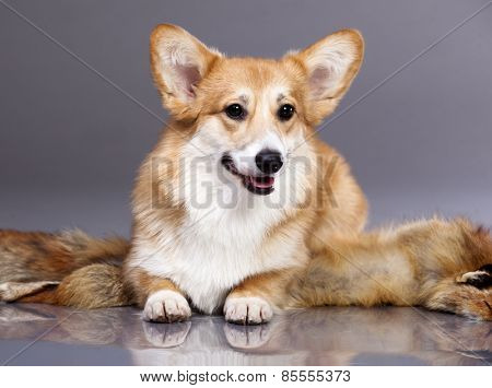 Corgi on a gray background