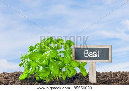 Basil In The Garden With A Wooden Label